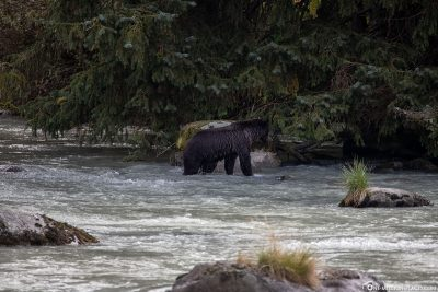 A bear in the Chilkoot River