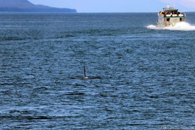 An orca in sight