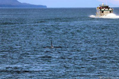 Ein Orca in Sicht