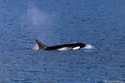 Ein Orca