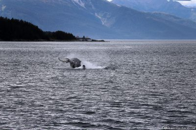 Ein springender Buckelwal