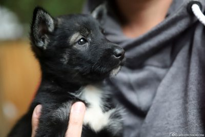 One of the Husky puppies