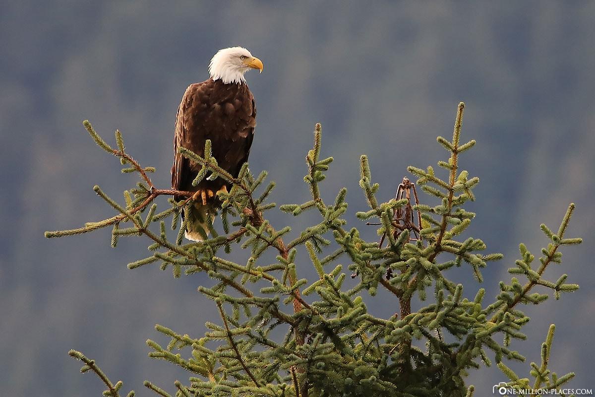 Weißkopfseeadler, Mendenhall-Gletscher, Juneau, Alaska, USA, Reisebericht