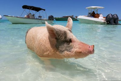 The Floating Pigs of the Bahamas