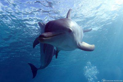 Delfine beim Tauchen in Curaçao