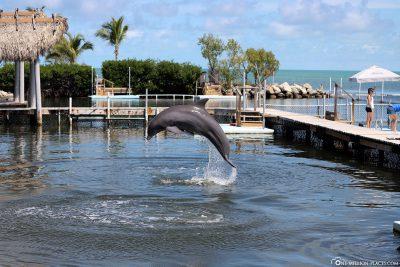 Ein springender Delfin
