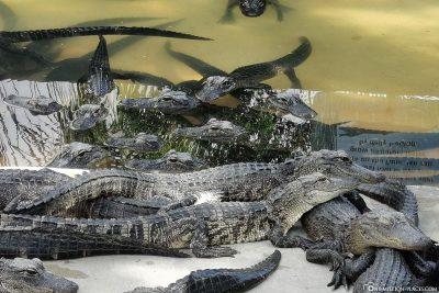 Die Becken mit den kleinen Alligatoren