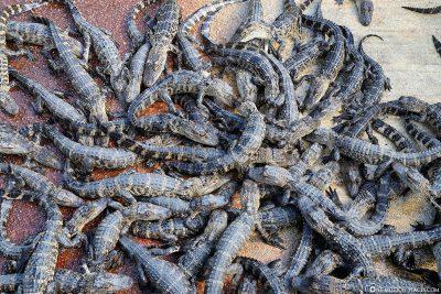 Unmengen an Baby Alligatoren