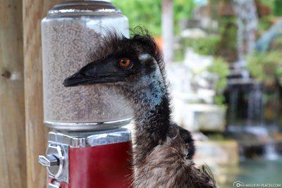 Der Emu am Futterspender