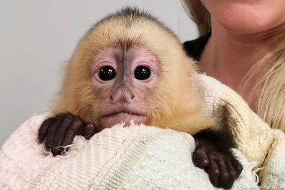 Ein süßer Baby-Affe