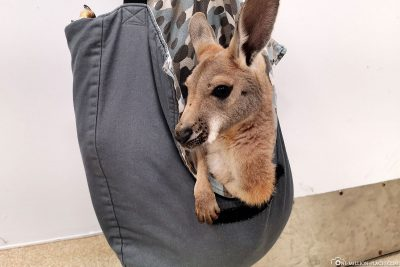 The Cute Baby Kangaroo