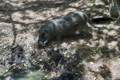 Ein Warzenschwein