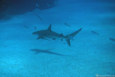 A shark at the Barracuda Heads dive site
