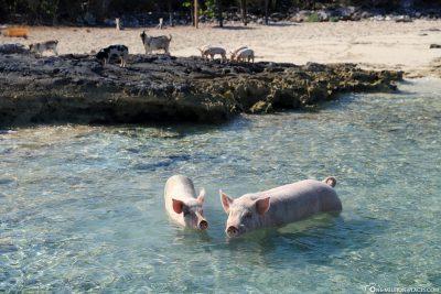 Begrüßung durch die schwimmenden Schweine von Dove Cay