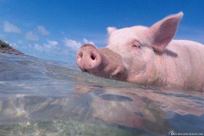 Die schwimmenden Schweine von Long Island