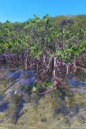 Mangroven und glasklares Wasser