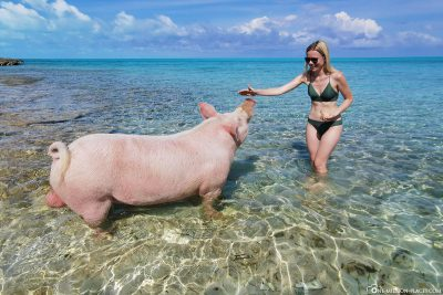 A big pig in the water off Long Island