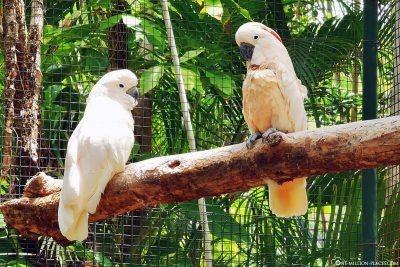 Kakadus im Ardastra Gardens & Zoo
