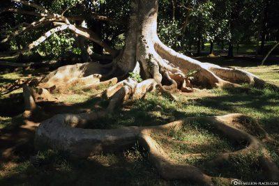 A huge root
