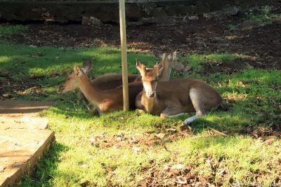 Deer in the Botanical Garden