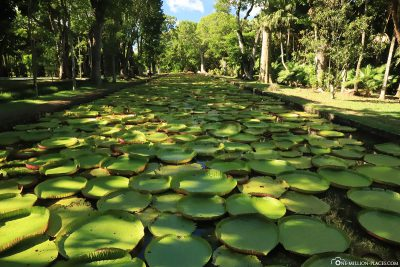 The great water lily pond