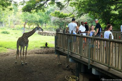 The observation deck for the giraffes
