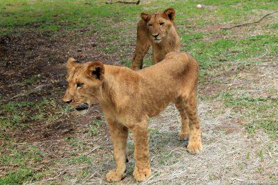 Lions in Casela Park