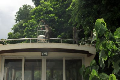 Monkeys on the Grand River South East