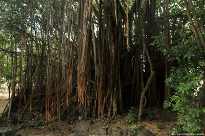 The huge roots of the Banyan fig