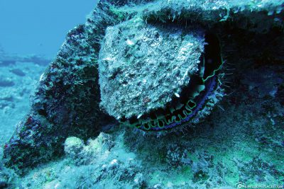 Stinging oyster