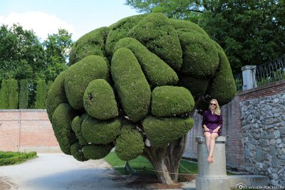 Trimmed cypresses