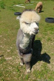 Ein graues Alpaka