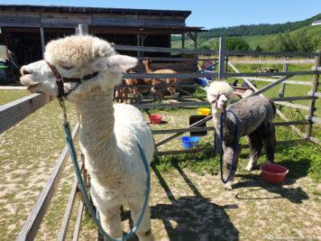 Die Fütterung der Alpakas