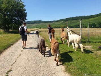 Alpaka Wanderung an der Mosel
