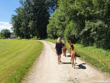 Wanderung mit den Alpakas