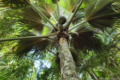 A Coco de Mer Palm