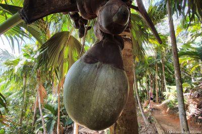 Der Samen der Seychellenpalme