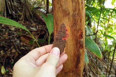 A cinnamon tree