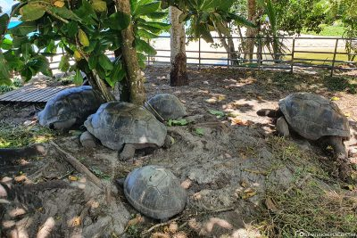 The giant tortoises at Anse Takamaka