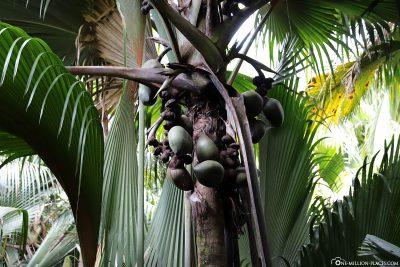 The Coco de Mer (Seychelles Palm)