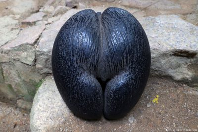 The seed of the Seychelles palm