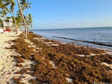 The algae on the beach in Punta Cana