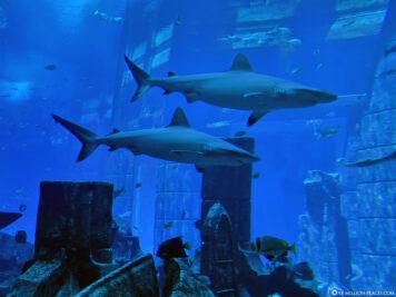 Sharks in Ambassador Lagoon